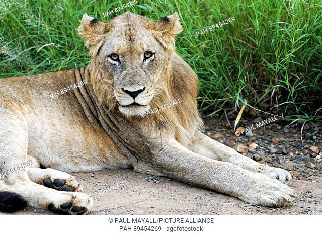 Young Male African Lion ( Panthera leo ), resting, Kruger National Park, South Africa | usage worldwide. - /South Africa/South Africa