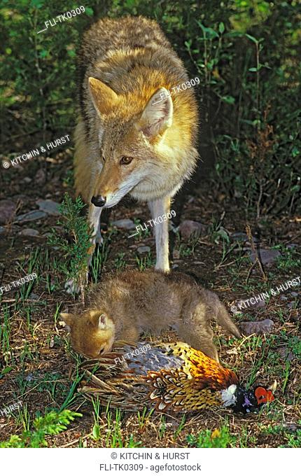 Coyote with 3 week-old pup playing with pheasant  Predator,Prey  Rocky Mountains  Canis latrans