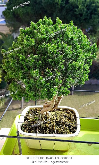 Breath of Heaven, Coleonema or Cape May bonsai tree, because of their fragrance when the leaves are crushed. Shaped Coleonema bonsai- El Maresme