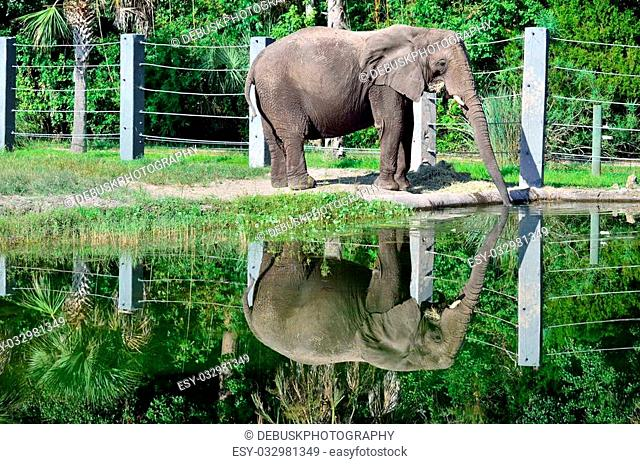 An elephant drinks from a pond and forms a V with his trunk through reflection