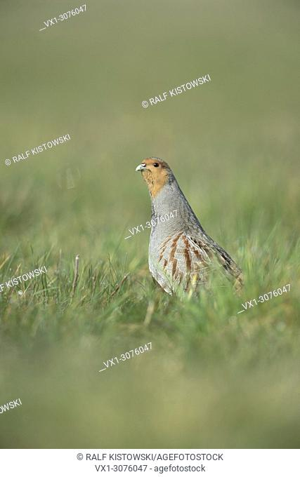 Grey Partridge ( Perdix perdix ) in breeding dress stretching its neck, watching around attentively.
