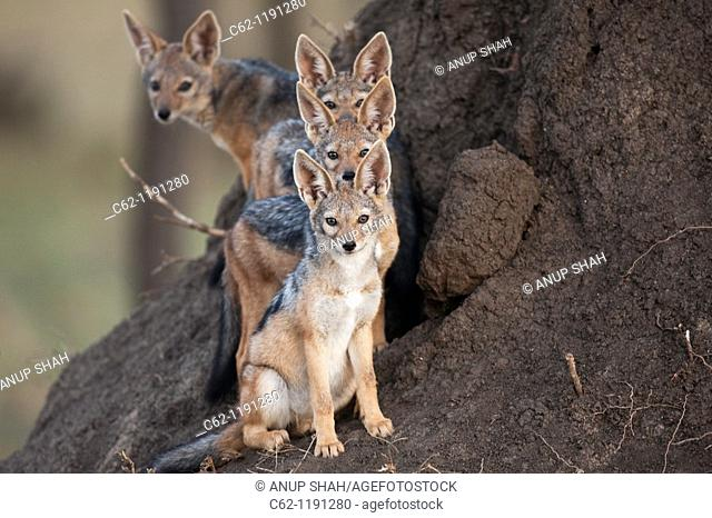 Black-backed jackal (Canis mesomelas) pups 6-9 months old standing alert outside the entrance to the den, Maasai Mara National Reserve, Kenya