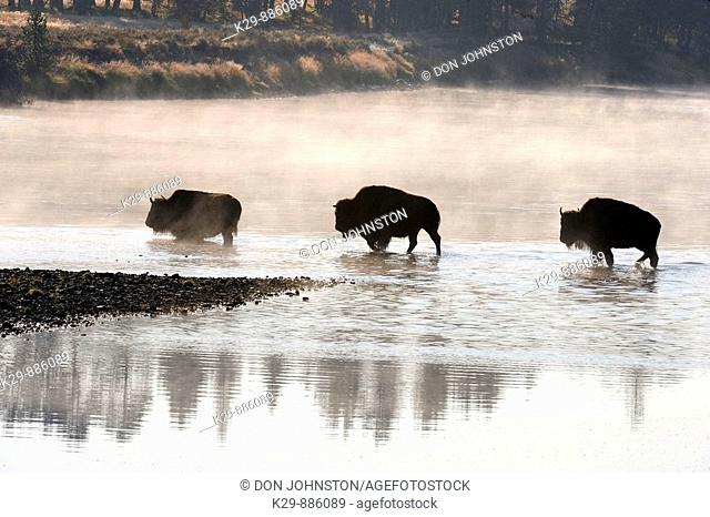 American Bison Bison bison Wading in Yellowstone River