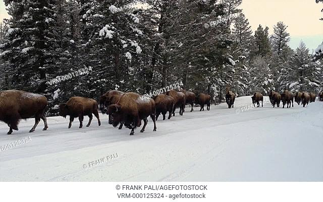 Herd of Bison in Yellowstone National Park walking on the road