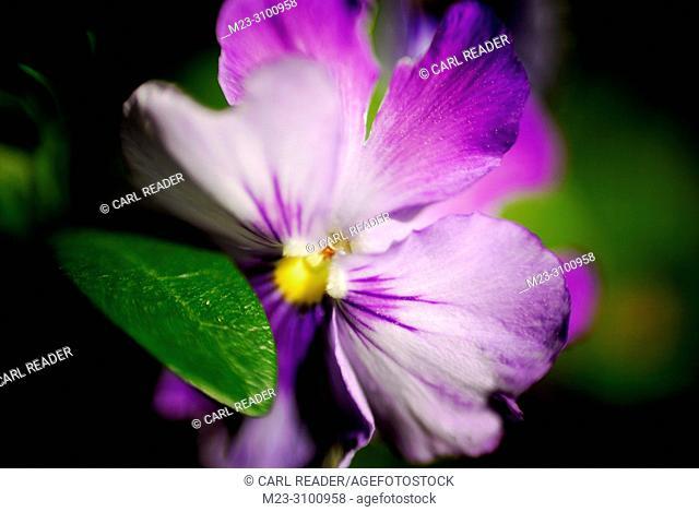 Soft focus petunia, Pennsylvania, USA