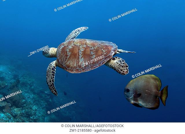 Green Turtle (Chelonia mydas) swimming along with Batfish (Platax sp.) at Sipadan Island in Borneo (Kalimantan) in Malaysia
