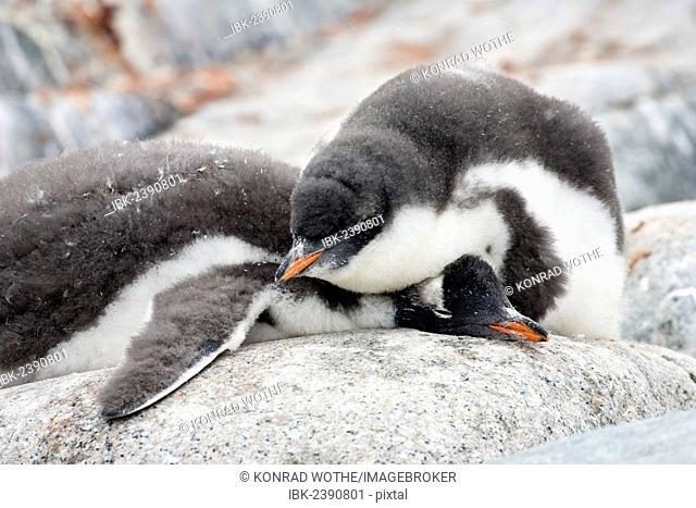 Young Gentoo Penguins (Pygoscelis papua), sleeping, Antarctic Peninsula, Antarctica