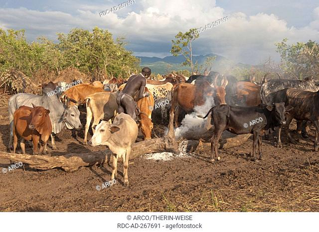 Surma herder with cattle, near Tulgit, Omo River Valley, Ethiopia