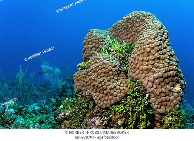 Column of coral and Halimeda Algae (Halimeda sp.) on a coral reef, barrier reef, San Pedro, Ambergris Cay Island, Belize, Central America, Caribbean