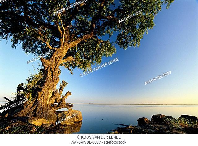 Jackal-Berry Tree, Chobe, Botswana