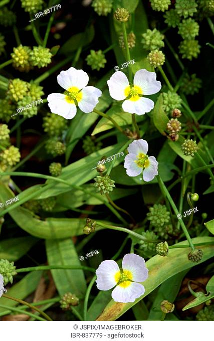 Lesser Water-plantain (Baldellia ranunculoides), blossoms, Ellerstadt, Rhineland-Palatinate, Germany, Europe