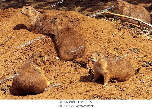 several prairie dogs / Cynomys spezies