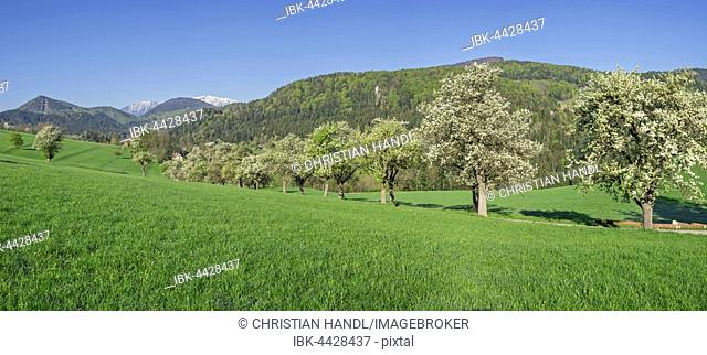 Row of flowering pear trees, Schneeberg, Miesenbach, Lower Austria, Austria