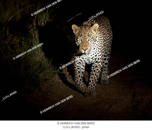 Leopard Panthera pardus on the prowl at night, Elephant Plains, Sabi Sands Conservancy, Mpumalanga Province, South Africa