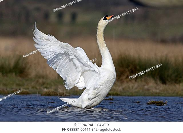 Mute Swan (Cygnus olor) adult male, standing in pond, flapping wings, Suffolk, England, March