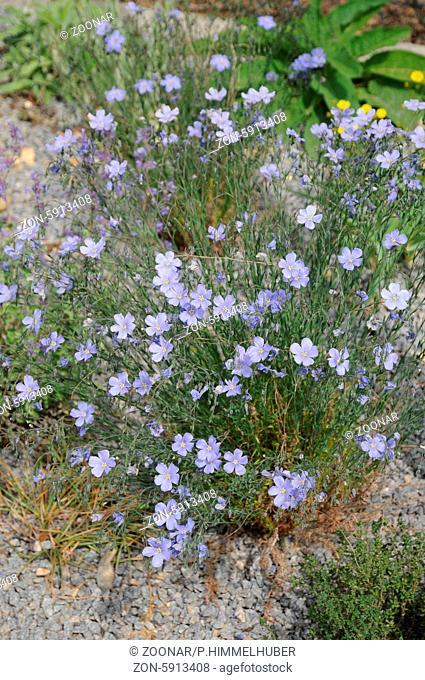 Linum flavum, Blauer Lein, Blue flax