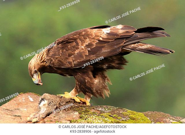 äguila Real (Aquila chrysaetos) en Extremadura, España