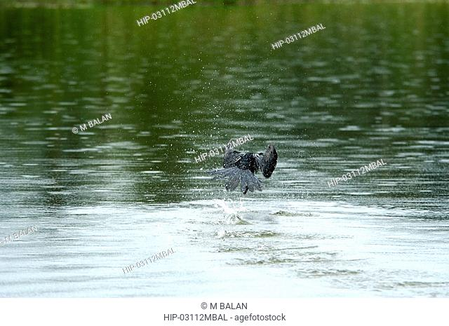 CORMORANT TAKING OFF AT THATTEKAD BIRD SANCTUARY, ERNAKULAM DIST