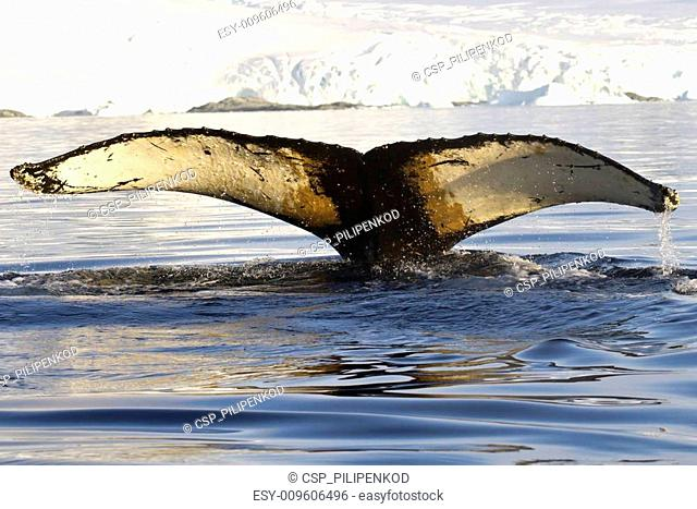 humpback whale tail dived into the waters near the Antarctic Pen