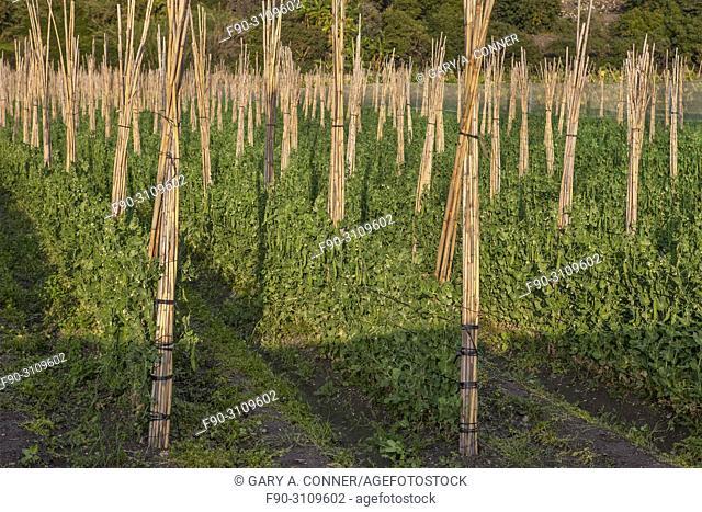 Rows of staked climbing beans, Salobreña, Granada, Spain
