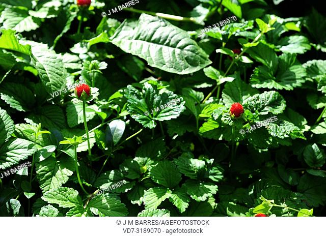 Asian wild strawberry (Fragaria nilgerrensis) is a perennial herb native to Asia mountains. Fruits (infrutescences) detail