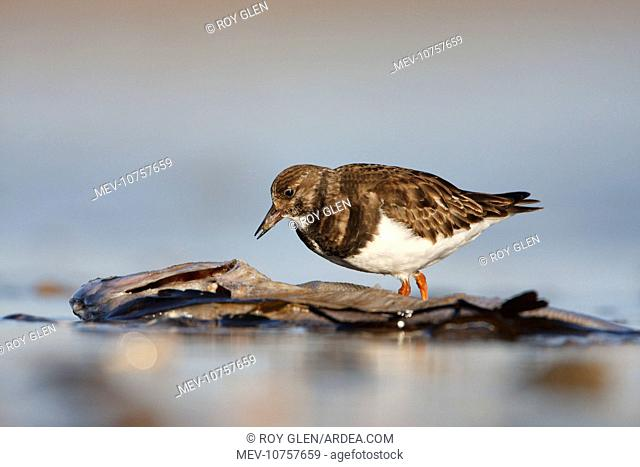 Ruddy Turnstone - Ground level perspective of bird feeding on a dead fish carcass, washed up in the surf (Arenaria interpres)