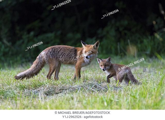 Red Foxes (Vulpes vulpes), Adult with young, Summer, Hesse, Germany, Europe