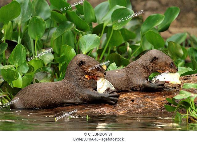 giant otter (Pteronura brasiliensis), juveniles feeding fishes , Brazil, Mato Grosso, Pantanal, Rio Cuiaba
