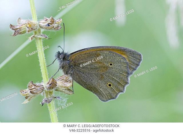 Meadow Brown, Maniola jurtina upper wings . Large chestnut butterfly with eyespots found in pasture land, meadows and grassy parks with tall grass
