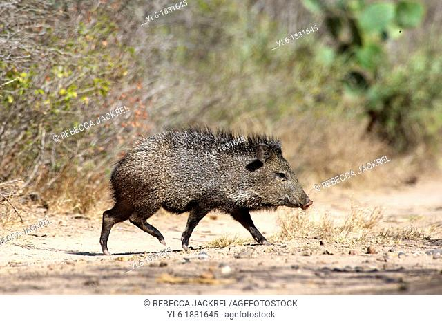 A young peccary walking, Texas