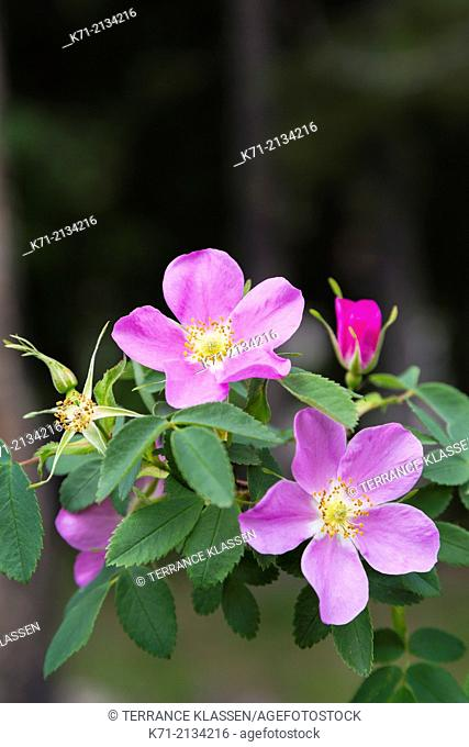 Several wild rose flowers in Jasper National Park, Alberta, Canada