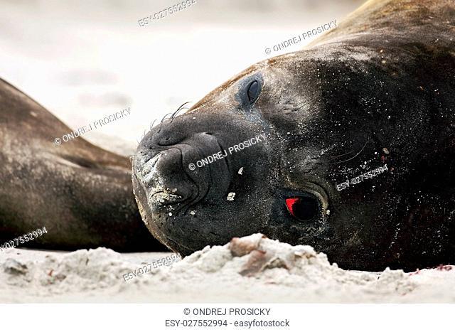 Elephant seal, Mirounga leonina