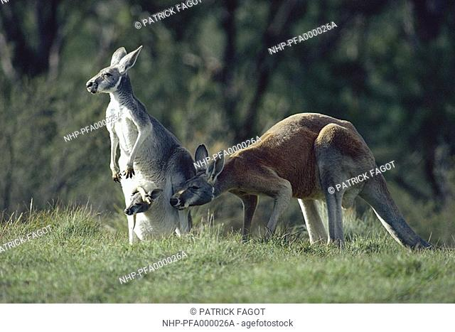 RED KANGAROO family Macropus rufus female with young in pouch, with attendant male