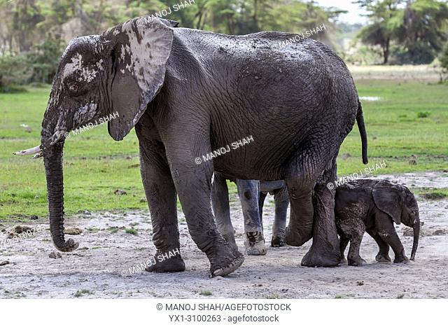 African Elephant baby rubbing her behing agaist her mother's hind legs in Amboselli National Reserve, Kenya