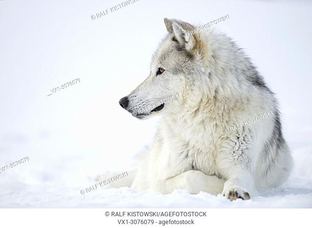 Gray Wolf ( Canis lupus) in winter, resting in snow, winter fur, watching aside attentively, beautiful golden eyes, Yellowstone area, Montana, USA