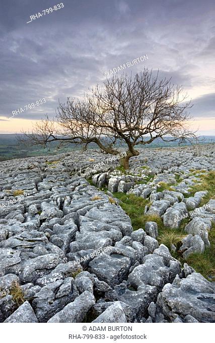 Gnarled tree growing through the limestone pavement on Twistleton Scar, Yorkshire Dales National Park, Yorkshire, England, United Kingdom, Europe