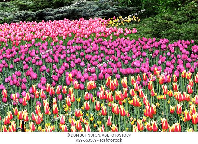 Tulip beds in Commissioner's Park near Dow's Lake. Ottawa, Ontario, Canada
