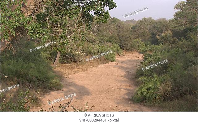 A dry riverbed in the African Bush, Acacia thorn trees on the banks of the river. Africa, drought, no water, no rain. African Bushveld
