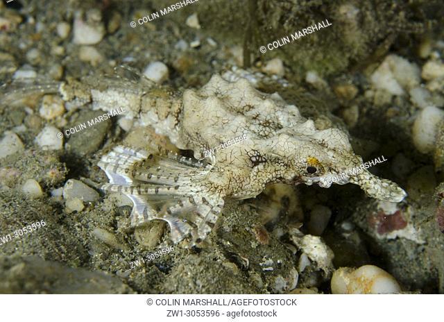 Seamoth (Eurypegasus draconis) on sand, Night dive, Tasi Tolu dive site, Dili, East Timor (Timor Leste)