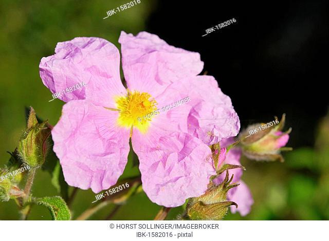 Cretan rock rose (Cistus creticus L.), Sardinia, Italy, Europe