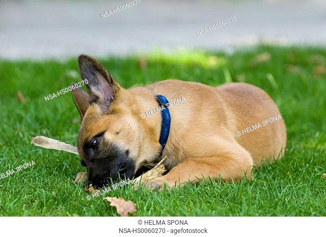 Malinois puppy on grass playing
