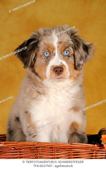 young Miniature Australian Shepherd