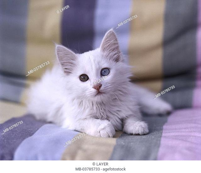 Sofa, cat, young, Turkish Angora, white, eyes pussy  Animals, mammals, pets, long hair cat, half long hair, race cat, nobly, young, kittens, cat eyes