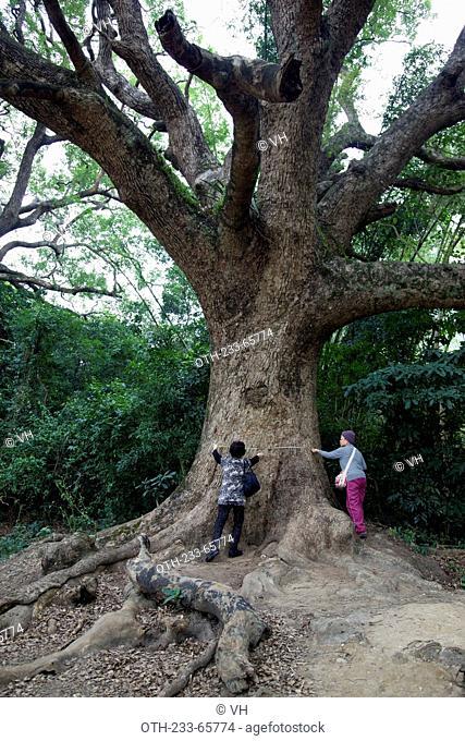 Giant camphor trees at the hillside, Fanling, New Territories, Hong Kong