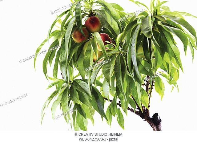 Nectarine tree, close-up