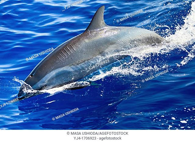 pantropical spotted dolphin, Stenella attenuata, with prop scars or propeller scars from boat strike, offshore, Kona Coast, Big Island, Hawaii, USA