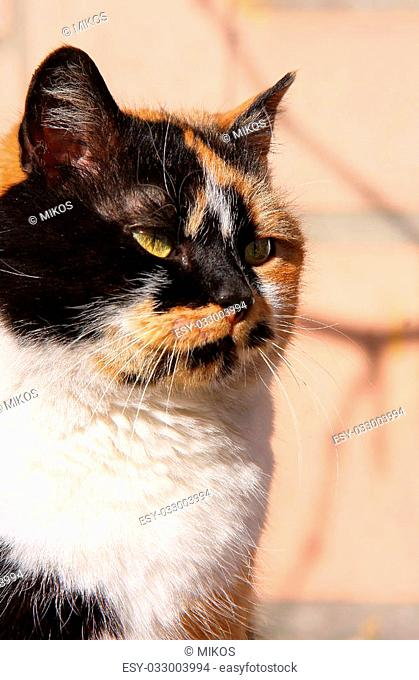 Image of black-red cat with green eyes