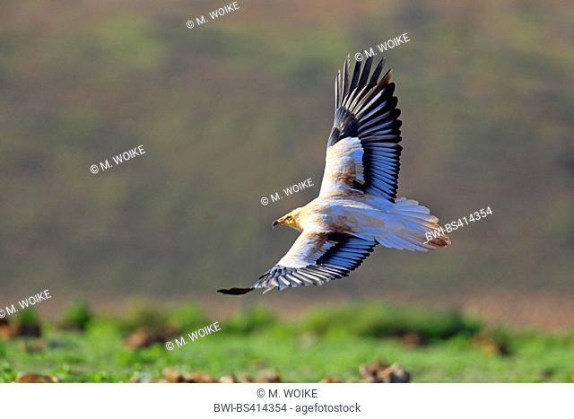 Egyptian vulture (Neophron percnopterus), landing, Canary Islands, Fuerteventura