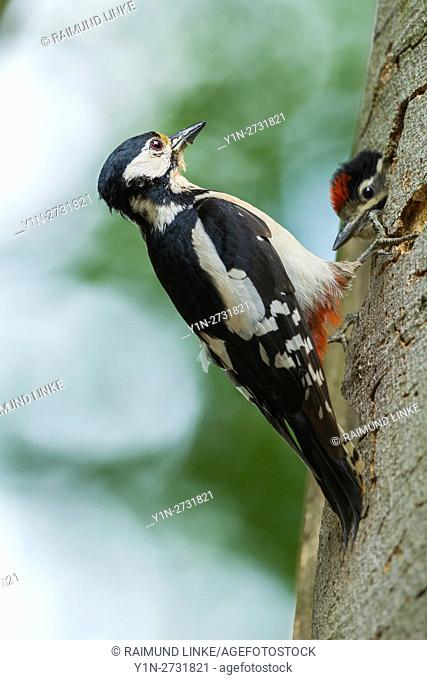 Great Spotted Woodpecker, Dendrocopos major, at the Nesting Hole with Young Woodpecker, Germany