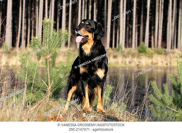 Hovawart dog / adult standing at the edge of a pond